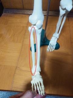 腓骨2.jpg